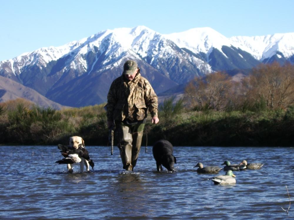 hunting, wingshoot, bird dog, ducks, duck decoys